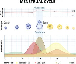 menstruation cycle ostéopathie